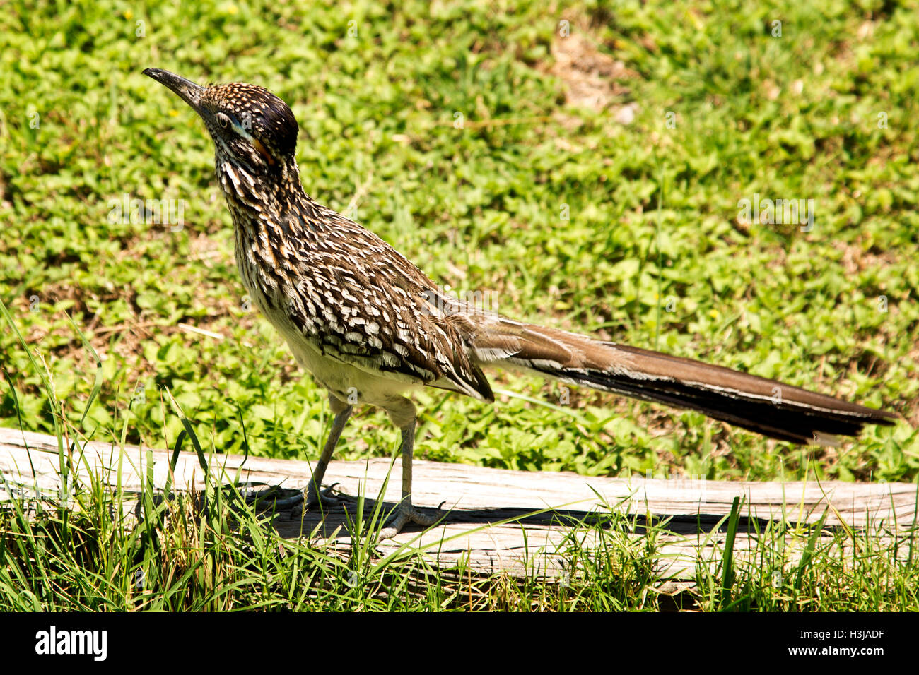Young roadrunner - Stock Image