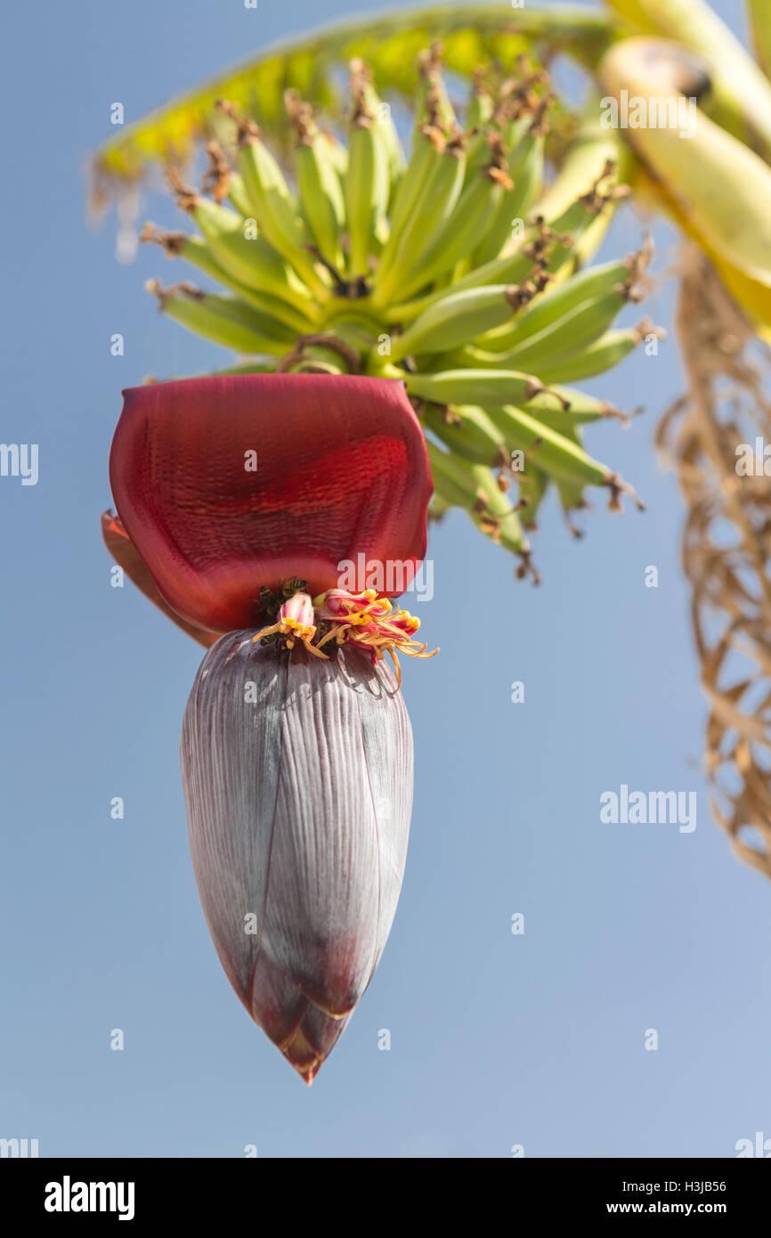 A Banana flower hangs beneath a bunch of Bananas. Stock Photo