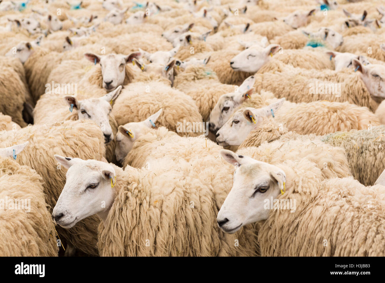 Sheep herded into a pen Stock Photo