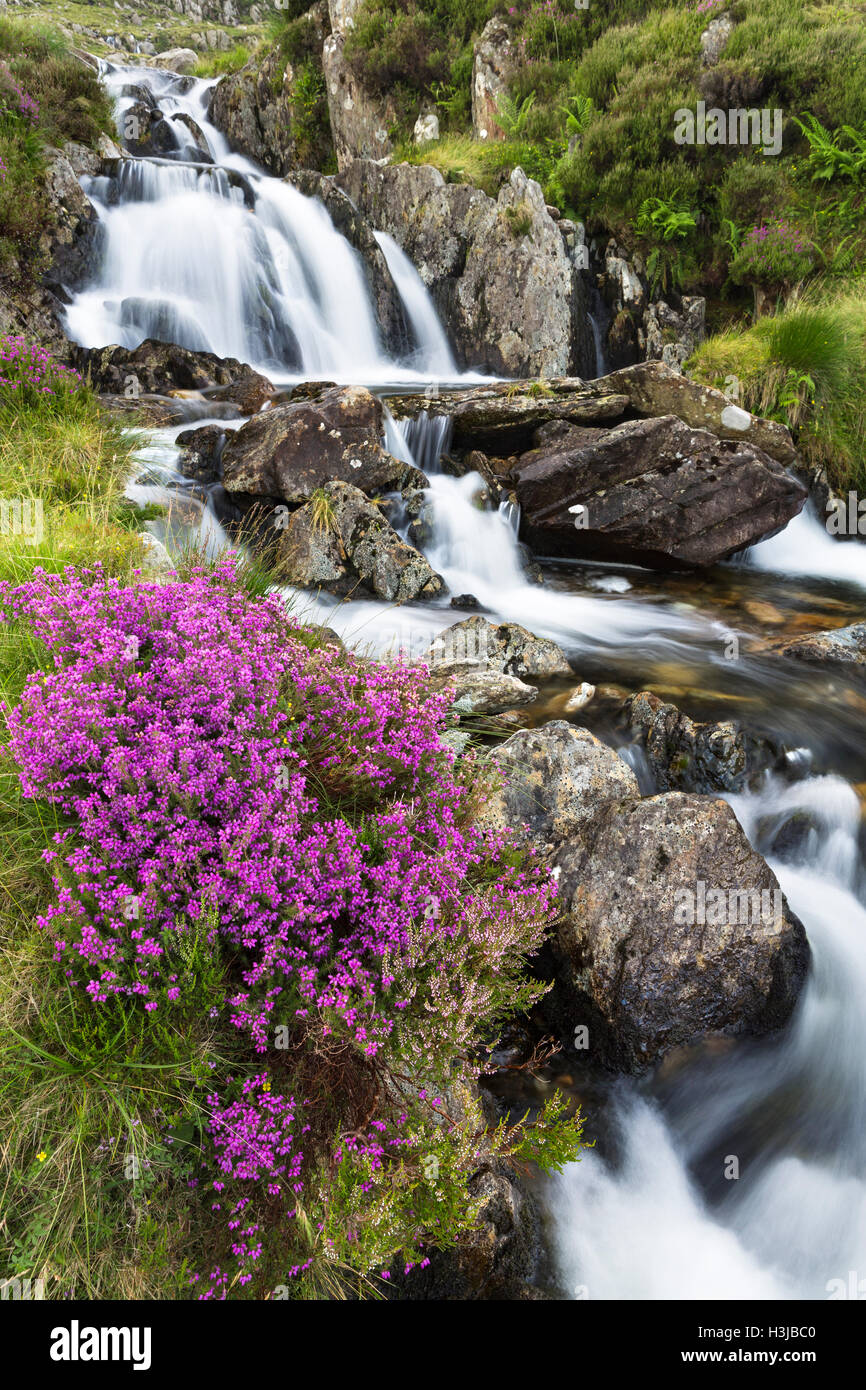 Heather grows along side a waterfall on Nant Bochlwyd, Snowdonia. Stock Photo