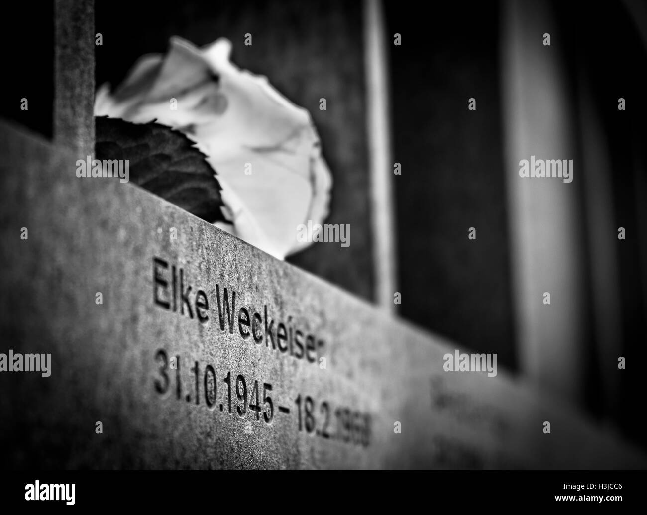 A rose commemorating a victim who died trying to reach West Berlin during the rule of the DDR in East Germany. - Stock Image
