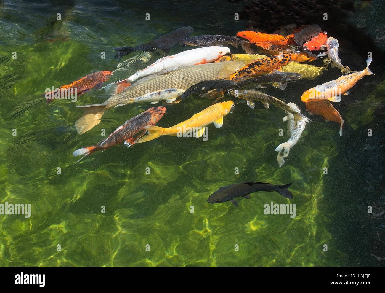 Colorful red yellow orange and white koi fish closeup in pond Stock ...