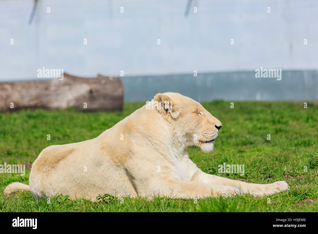 Spring Grove, APR 23: White Bengal Tiger in the beautiful West Midland Safari Park on APR 23, 2016 at Spring Grove, - Stock Image
