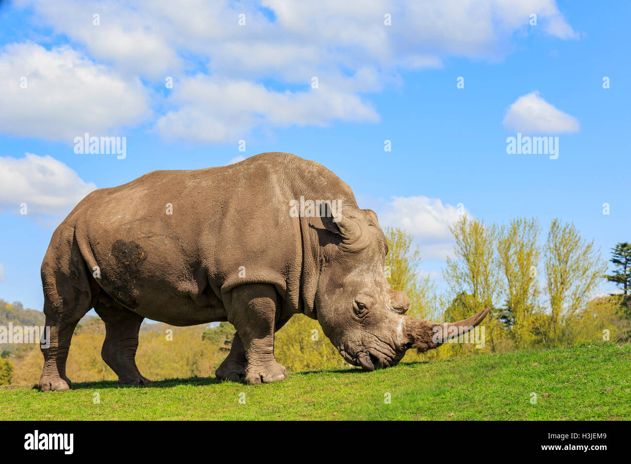 The Indian Rhinoceros in the beautiful West Midland Safari Park on APR 23, 2016 at Spring Grove, United Kingdom - Stock Image