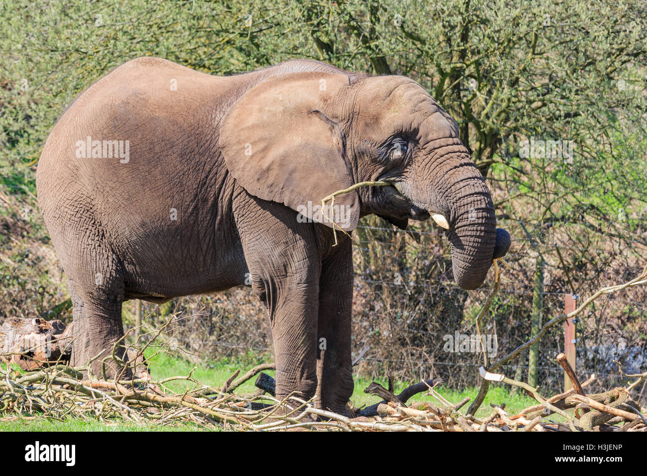 Spring Grove, APR 23: Elephant in the beautiful West Midland Safari Park on APR 23, 2016 at Spring Grove, United - Stock Image