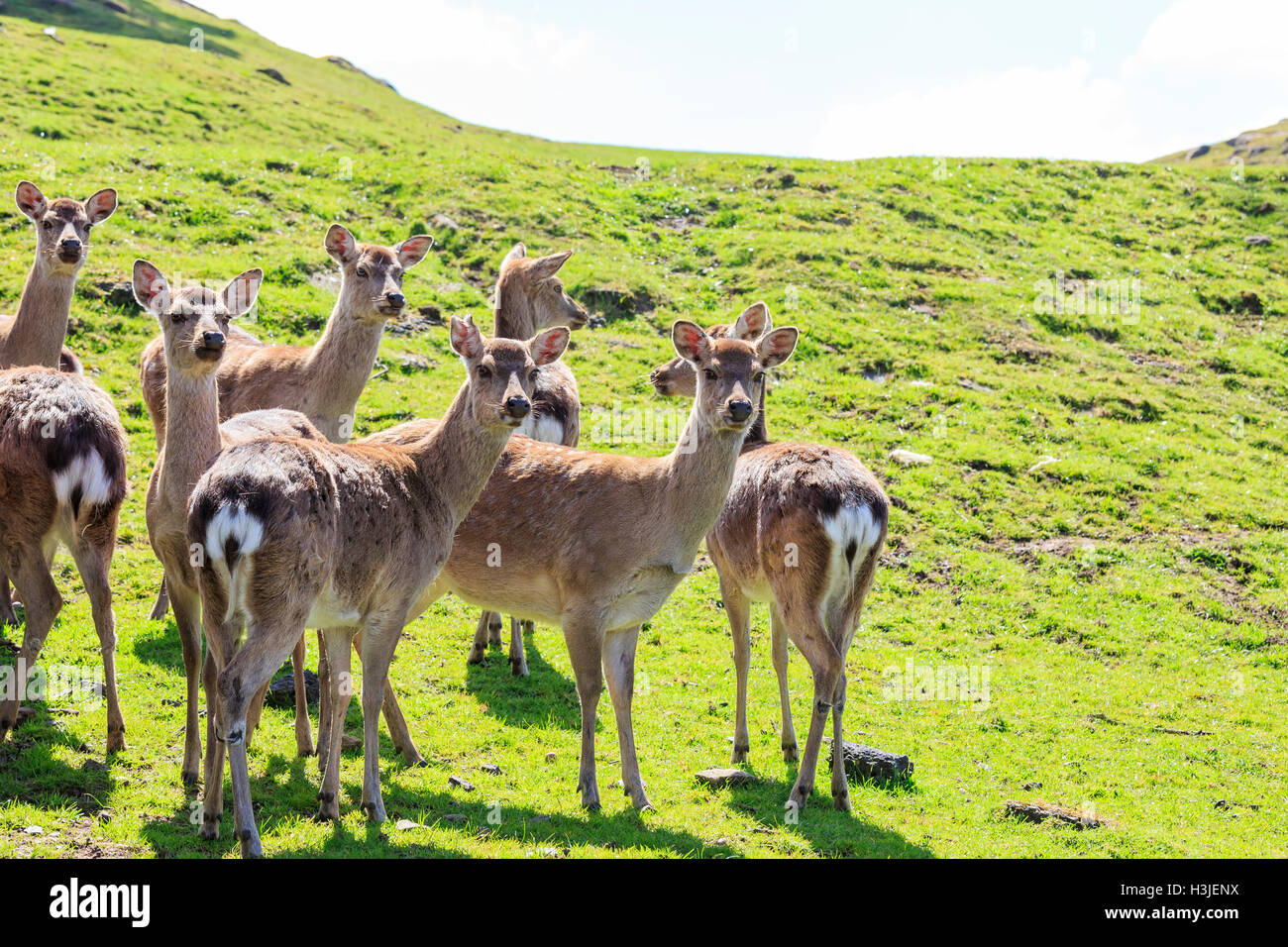 Deer in the beautiful West Midland Safari Park on APR 23, 2016 at Spring Grove, United Kingdom - Stock Image