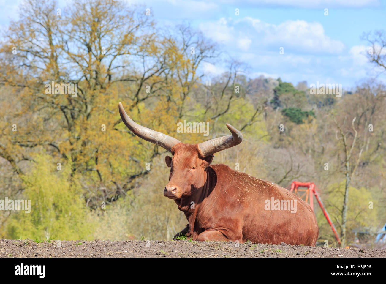 Spring Grove, APR 23: Cow in the beautiful West Midland Safari Park on APR 23, 2016 at Spring Grove, United Kingdom - Stock Image