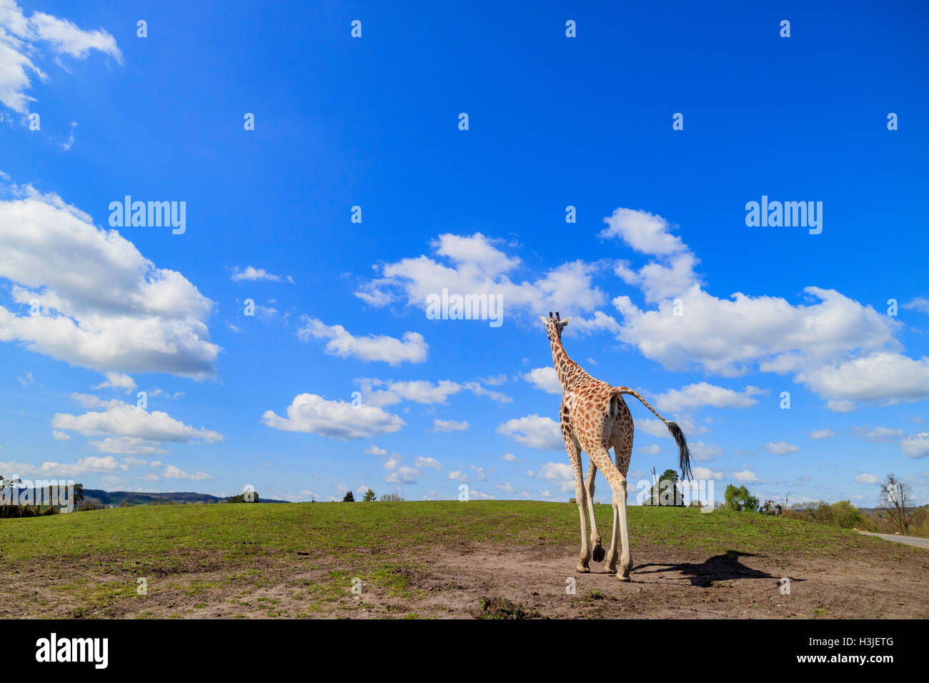 Giraffe walking in the beautiful West Midland Safari Park on APR 23, 2016 at Spring Grove, United Kingdom Stock Photo