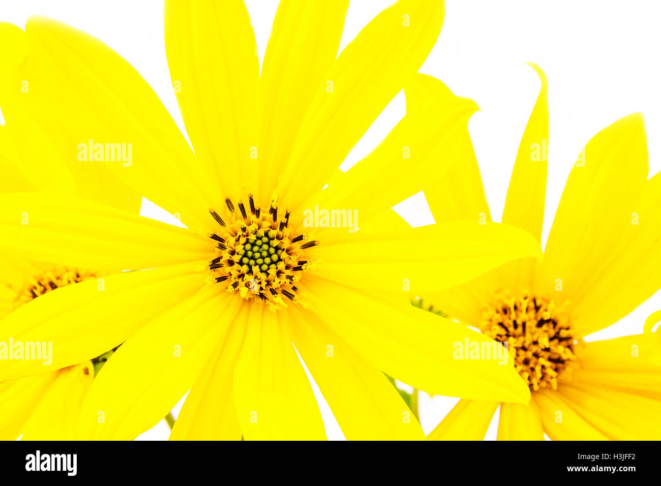 Yellow flower with thin petals on light white background stock photo yellow flower with thin petals on light white background mightylinksfo