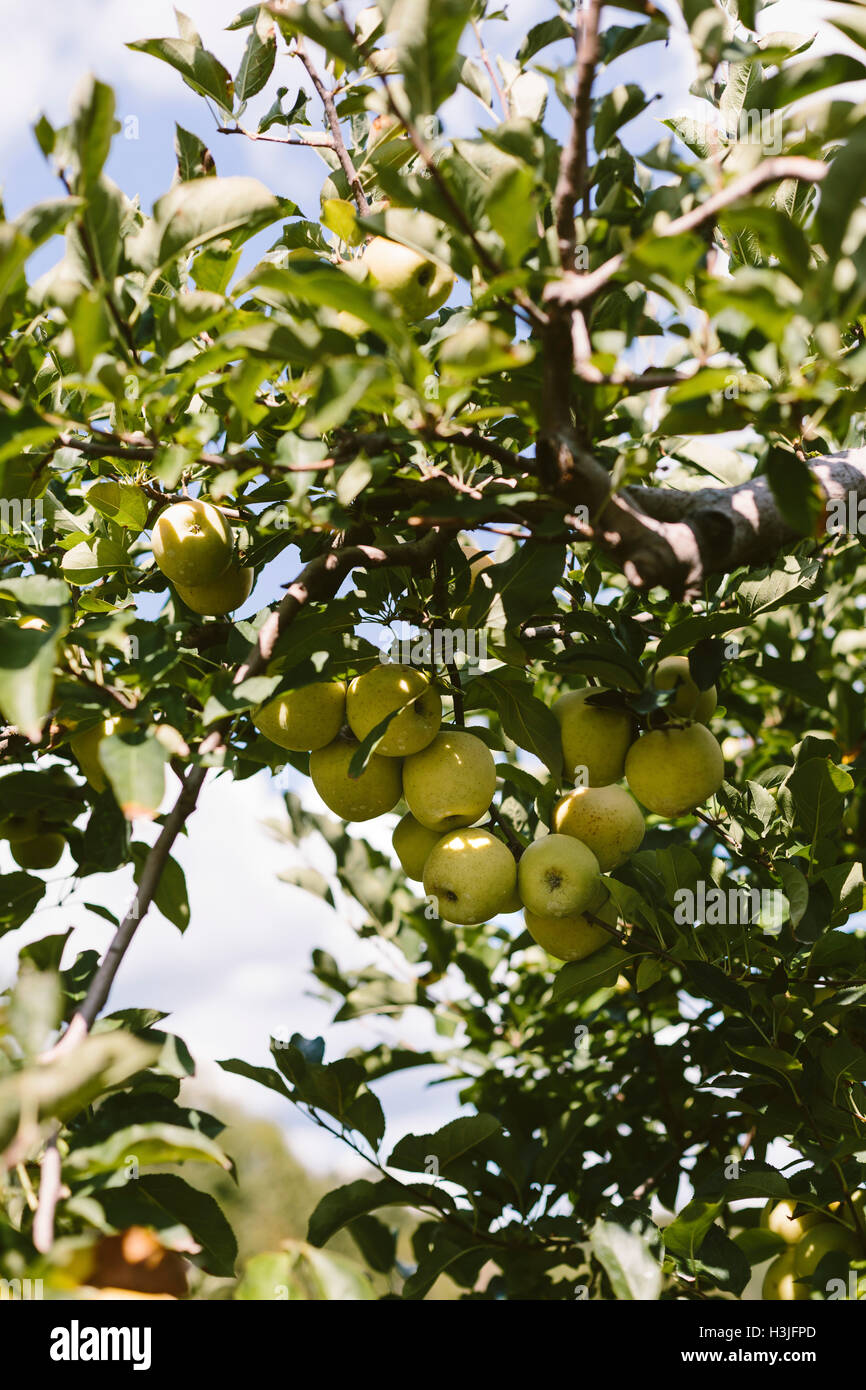 Green apples are photographed from below. - Stock Image