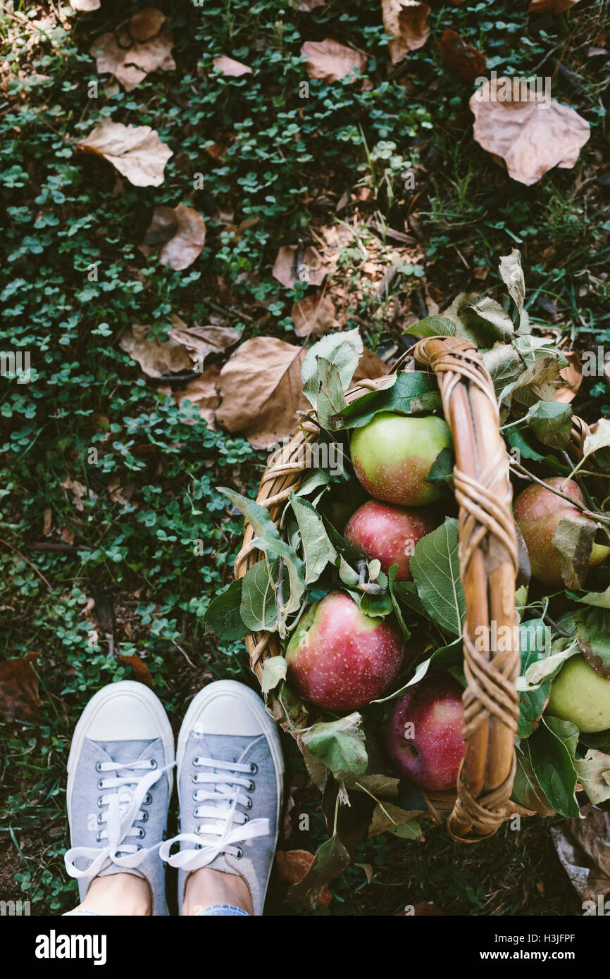 A woman photographed a basket full of apples from the top view with her feet wearing snickers. - Stock Image
