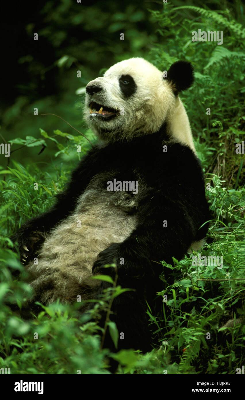 Giant panda (Ailuropoda melanoleuca) - Stock Image