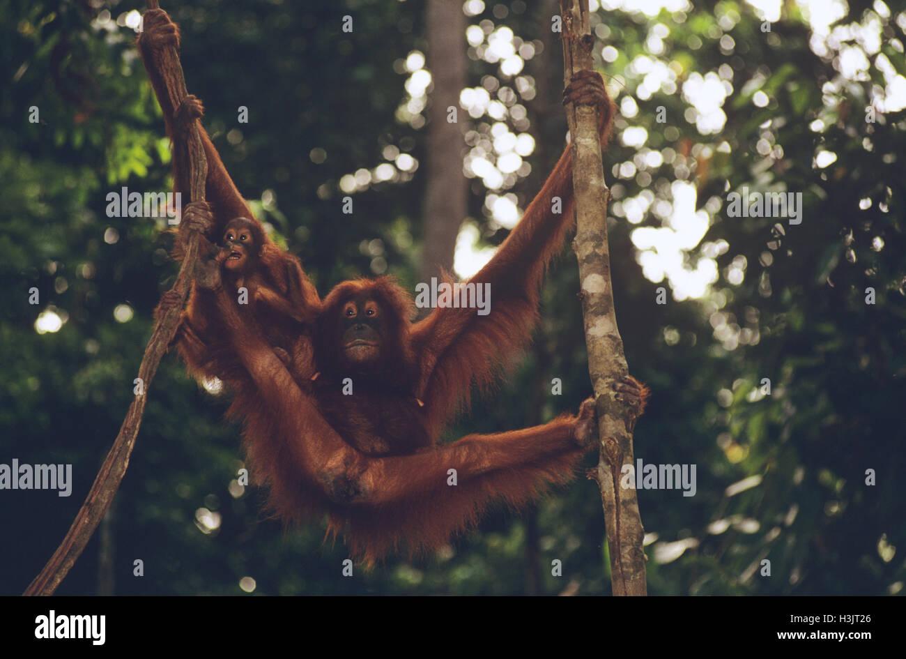Bornean orangutan (Pongo pygmaeus) - Stock Image
