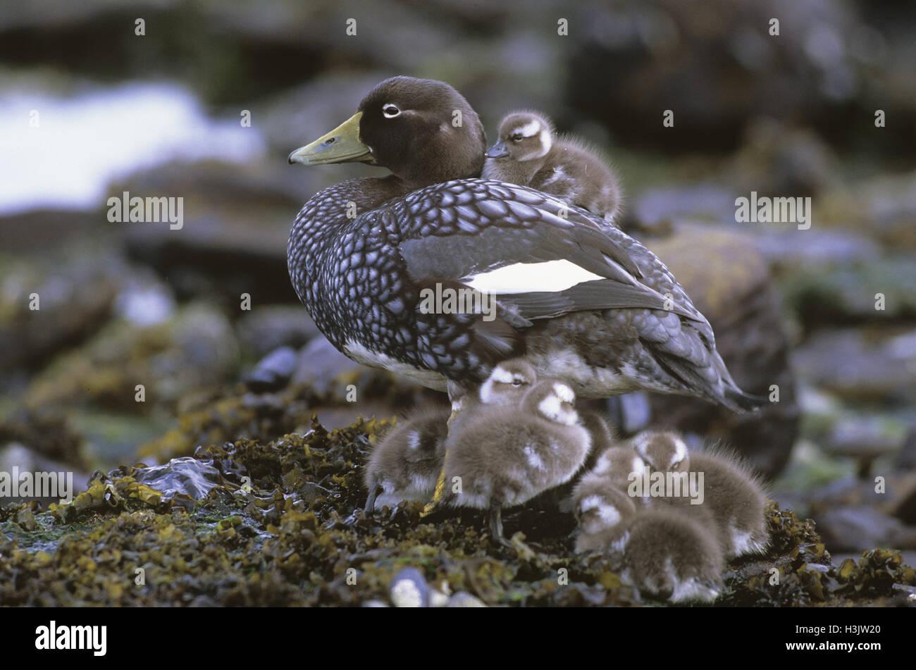 Falkland steamer duck (Tachyeres brachypterus) - Stock Image