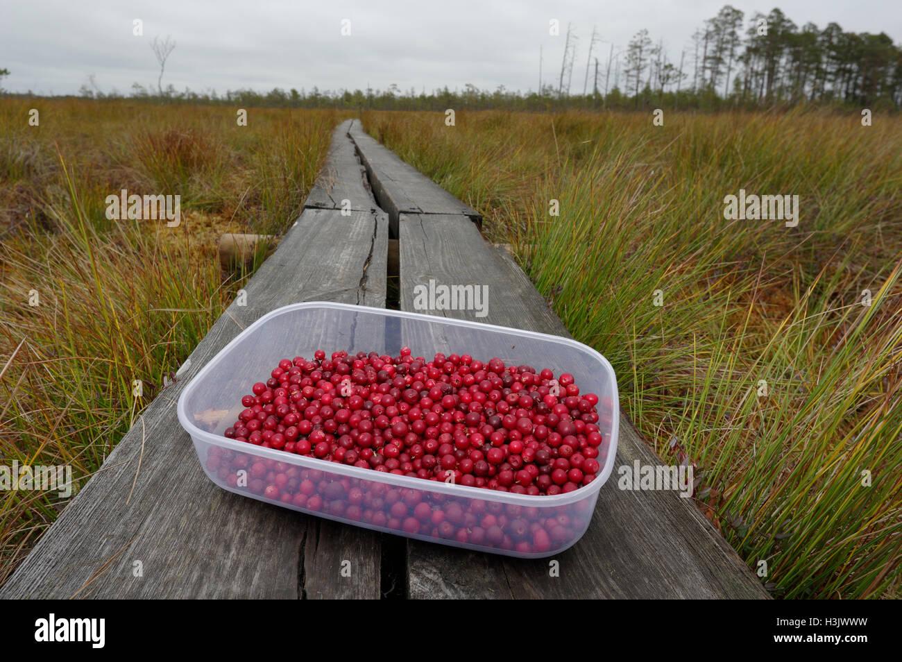 Freshly picked lingonberries. Alam-Pedja Nature Reserve. Estonia. - Stock Image