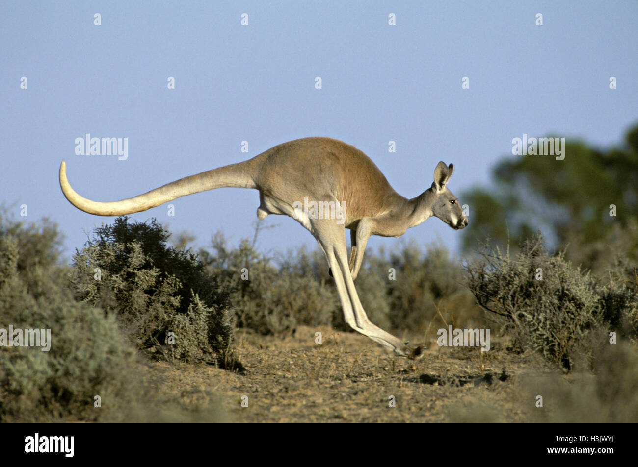 Red kangaroo (Macropus rufus), young male hopping. Kinchega National Park, far western New South Wales, Australia - Stock Image