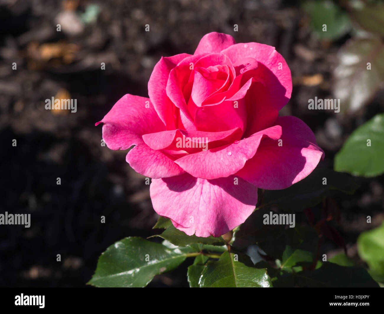 Single pink filled rose in bloom, Romanze Tantau 1984, photographed in Frognerparken rose garden, Oslo Norway - Stock Image