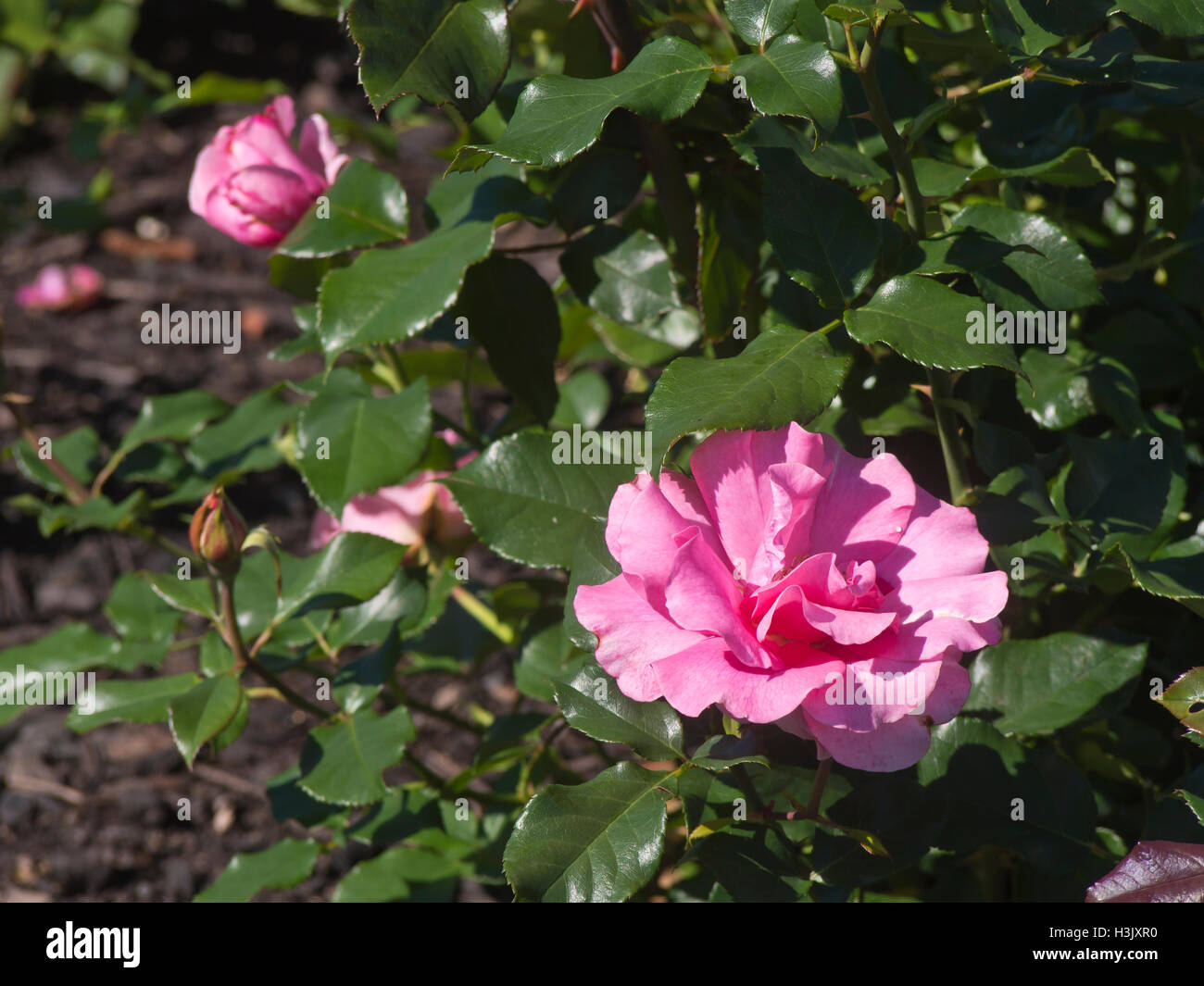 Pink filled rose in bloom with dark green leaves, Romanze Tantau 1984, photographed in Frognerparken rose garden - Stock Image