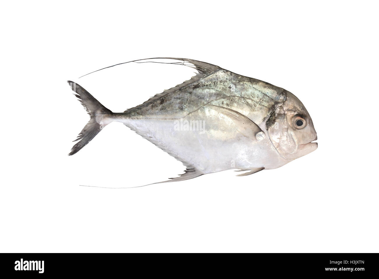 Threadfin Travelly - Alectis ciliaris - Stock Image