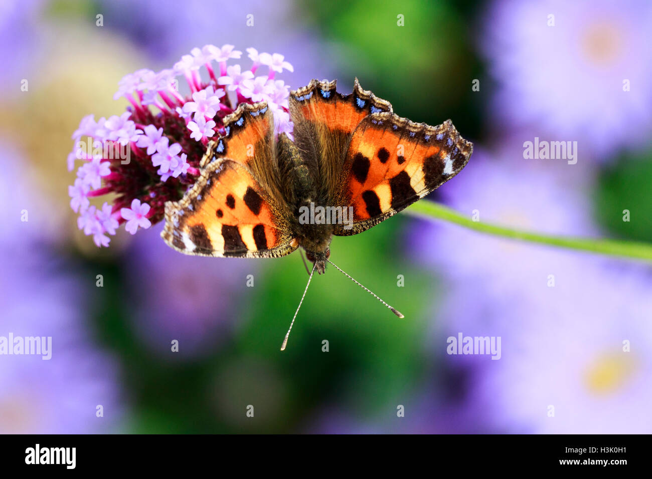Small Tortoiseshell Agiais urticae adult butterfly feeding on flowers - Stock Image
