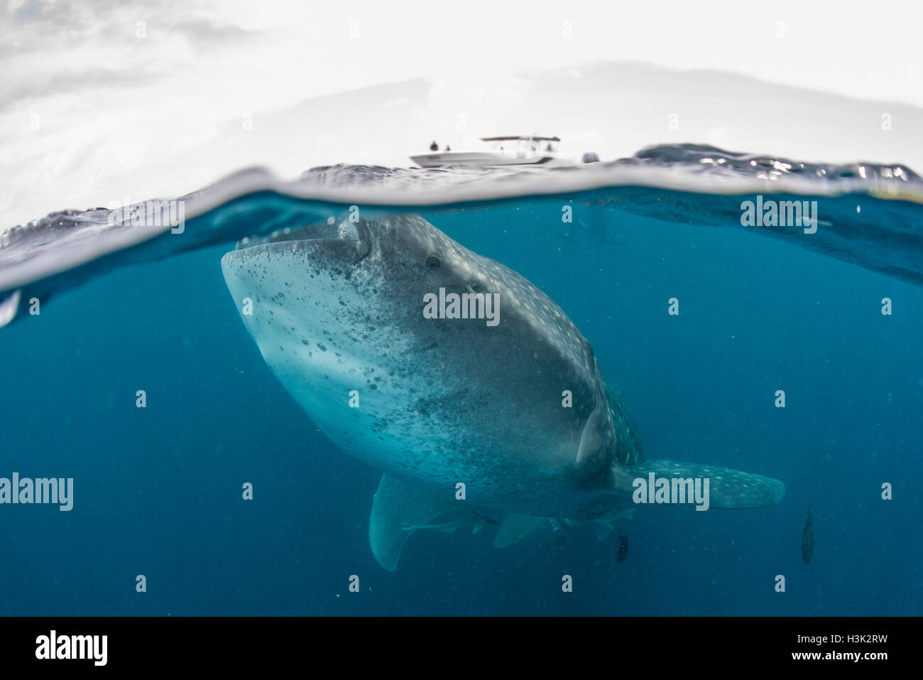 Whale shark (Rhincodon Typus) swimming near surface of water, Contoy Island, Mexico Stock Photo