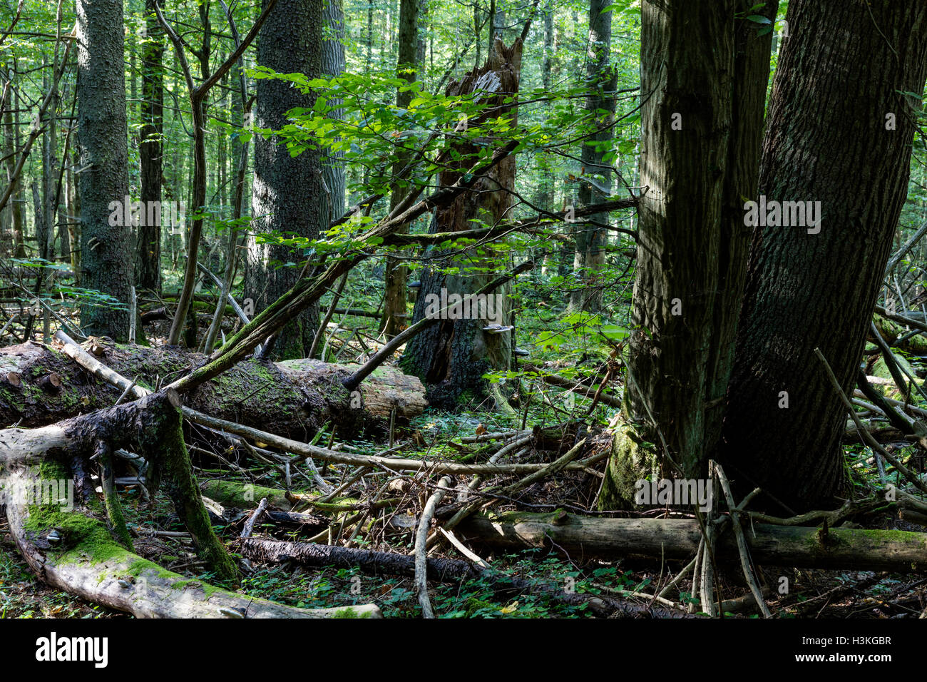 Bialowieza Forest in summer time, Poland, Europe. - Stock Image