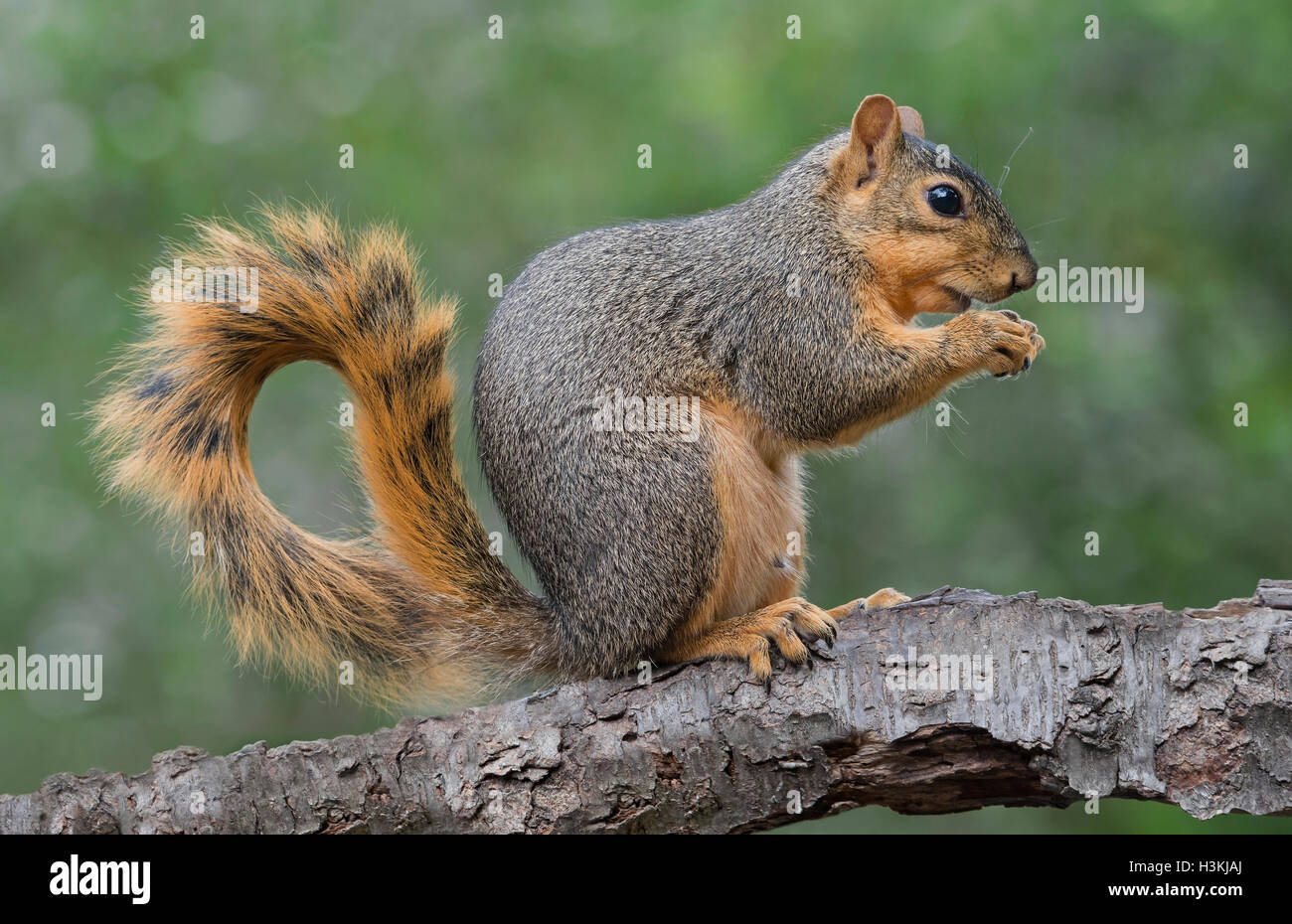 Eastern Fox Squirrel (Sciurus niger) eating nuts, Autumn, E North America - Stock Image