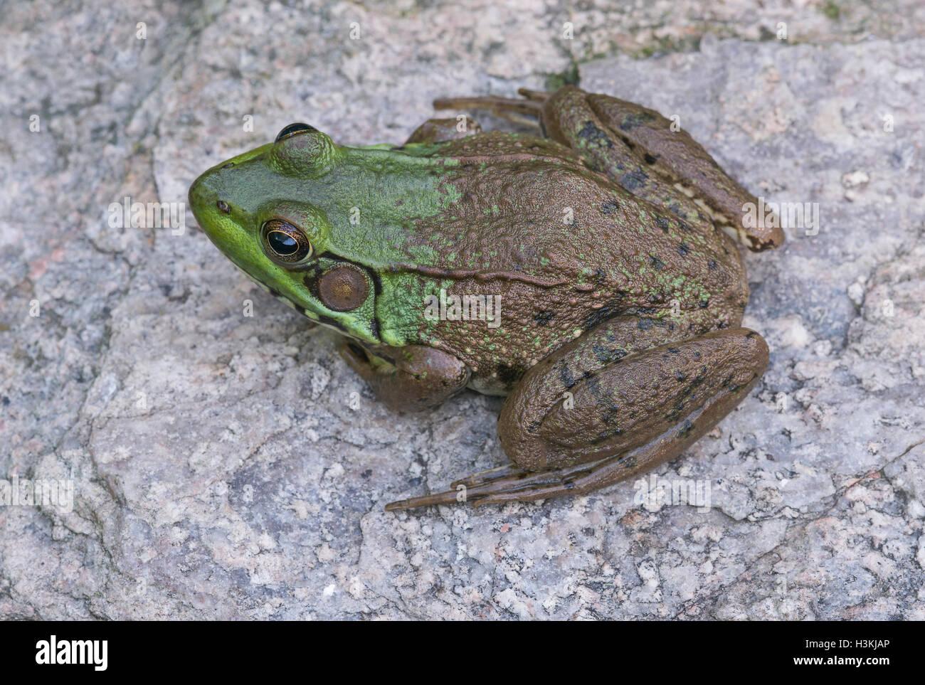 Green Frog Rana clamitans sitting on rock  Eastern USA - Stock Image