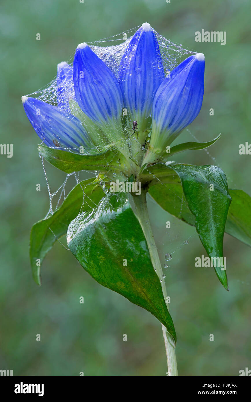 Gentians Gentiana andrewsii with dewy spider webs, Eastern USA - Stock Image