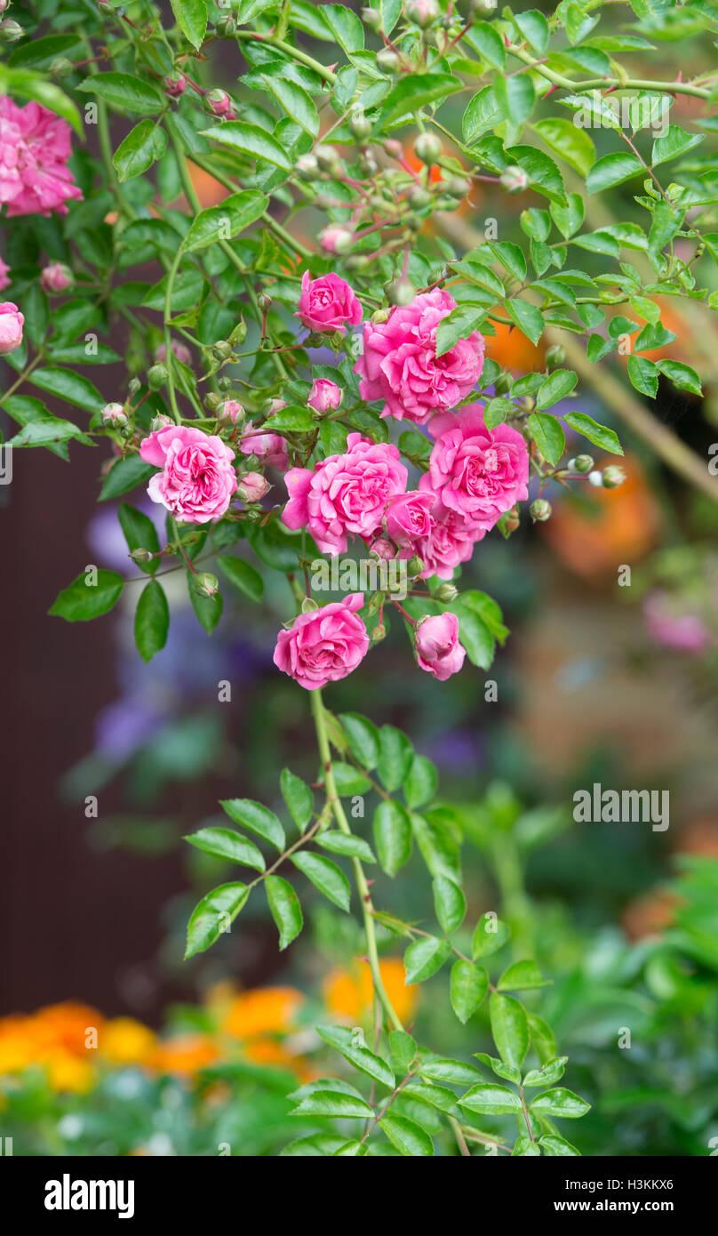 Rambler Rose. Dorothy Perkins roses - Stock Image