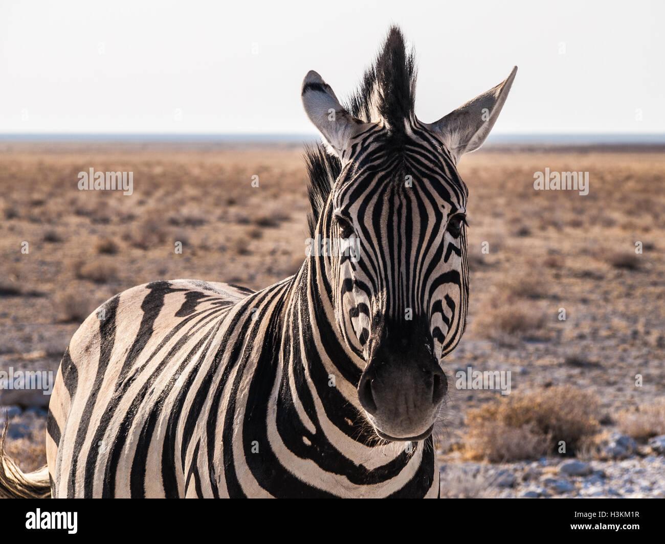 Zebra in the Etosha National Park, Namibia - Stock Image
