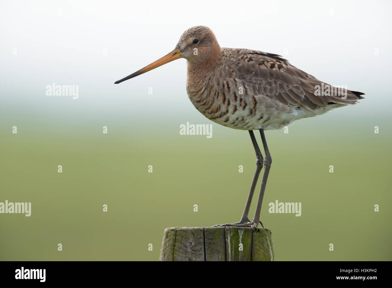 Black-tailed Godwit / Uferschnepfe ( Limosa limosa), breeding plumage, on fence post, close-up, characteristic wader - Stock Image