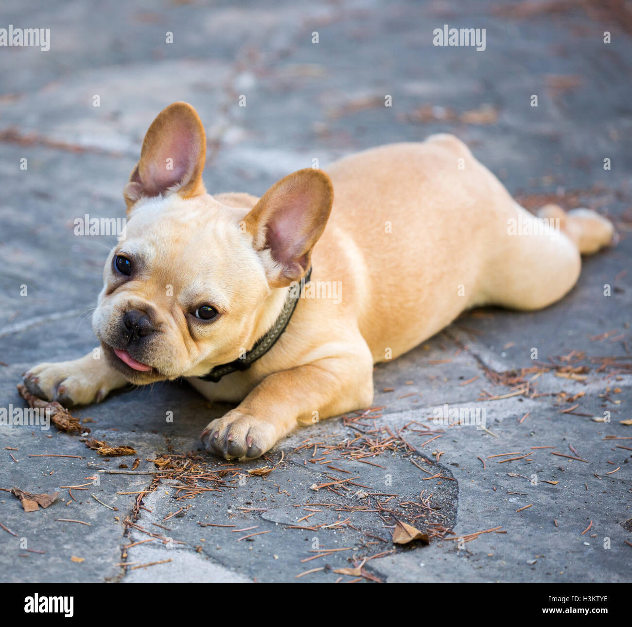 French Bulldog Puppy - Canis lupus familiaris - Stock Image