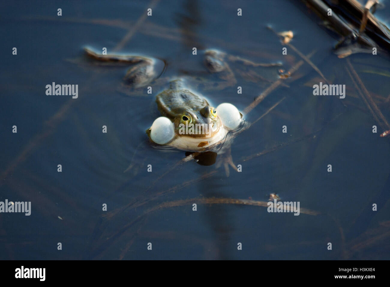 Croaking frog in a swamp - Stock Image