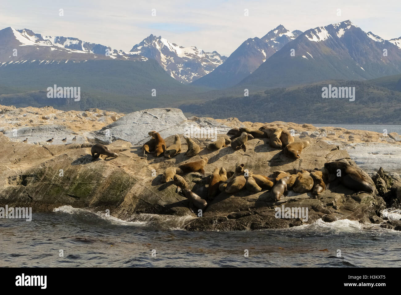 A group of Patagonian sea lions (Otaria flavescens) sunbathing in the middle of Beagle channel, Tierra del Fuego, Stock Photo