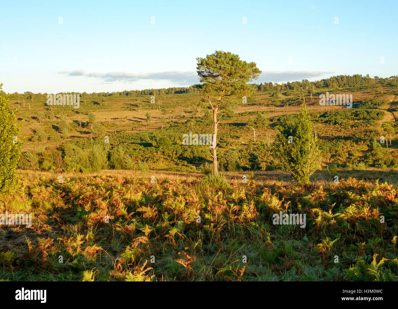 Heathland in the Ashdown Forest, East Sussex, England, UK, a Site of Special Scientific Interest - Stock Image