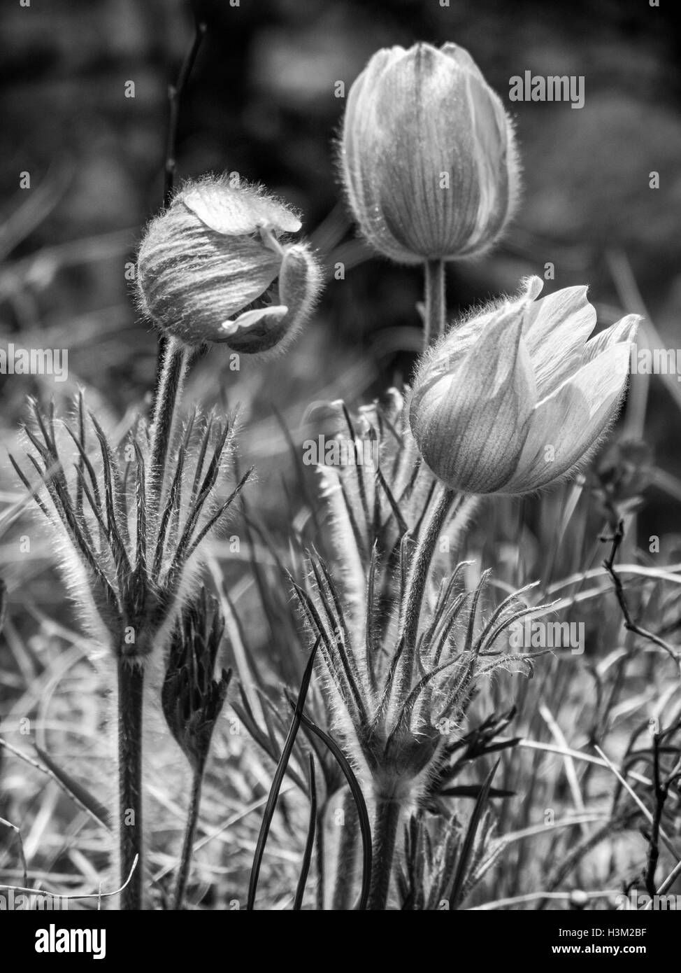 Prairie Crocus, Anemone patens in Waterton Lakes National Park, Alberta, Canada Stock Photo