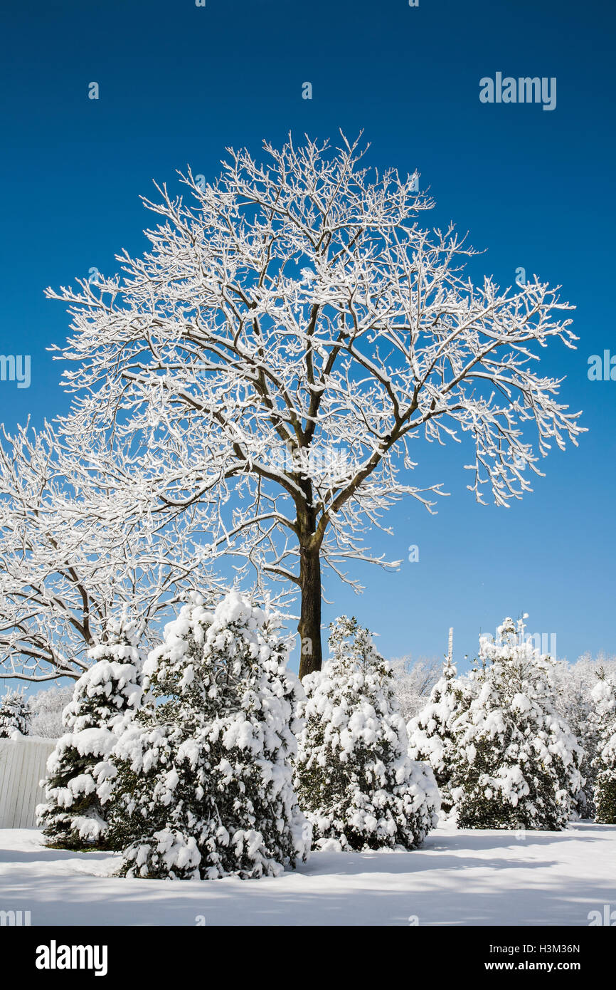 Winter morning scene of snow covered trees and blue sky, Monmouth County, New Jersey, USA - Stock Image