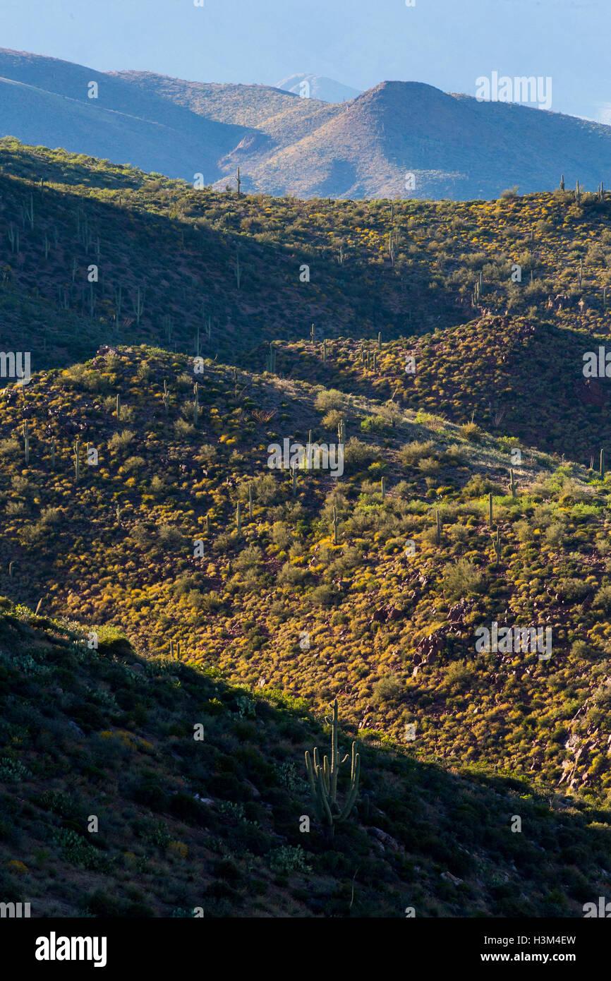 Saguaro cactus lining mountainsides covered with brittlebrush wildflowers. Tonto National Forest, Arizona - Stock Image