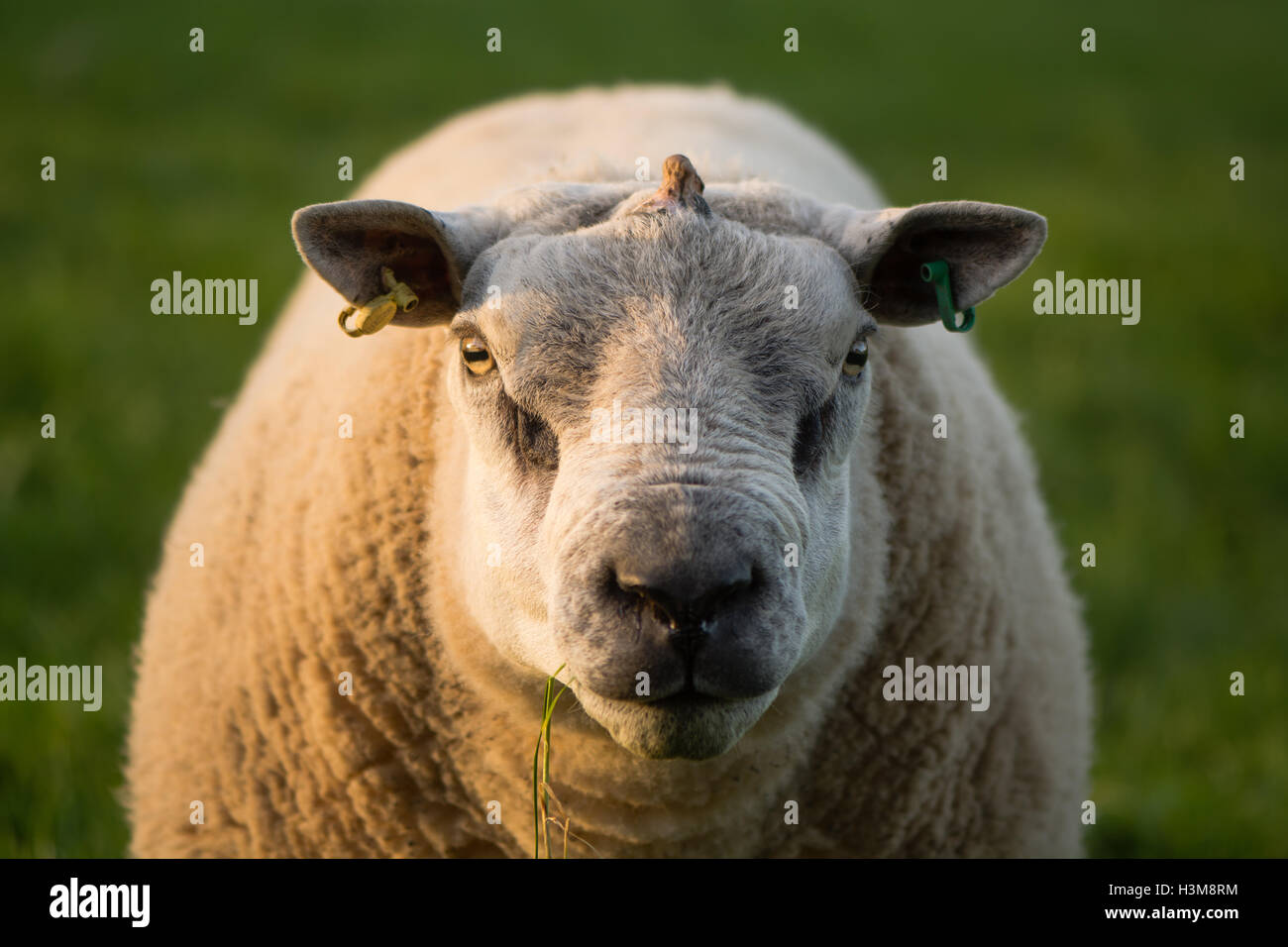 Ram with growth emerging from centre of skull. Sheep with tumour on head, with appearance of horn, emerging through Stock Photo