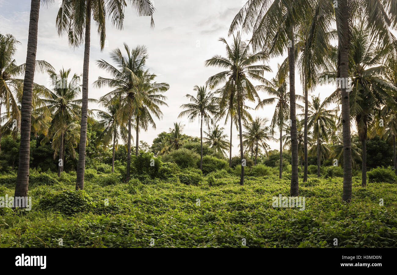 Palm tree forest, Gili Meno, Lombok, Indonesia Stock Photo