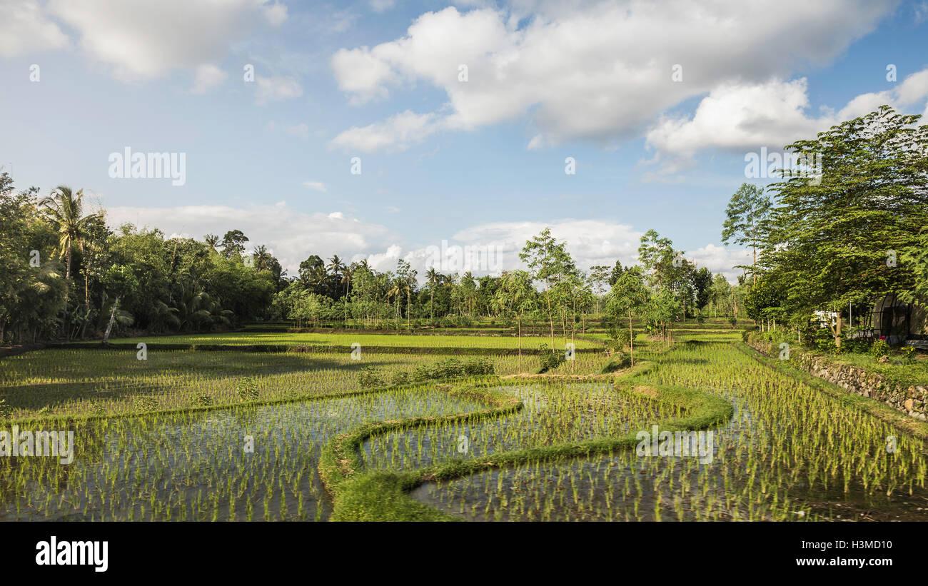 Paddy field, Gili Meno, Lombok, Indonesia - Stock Image