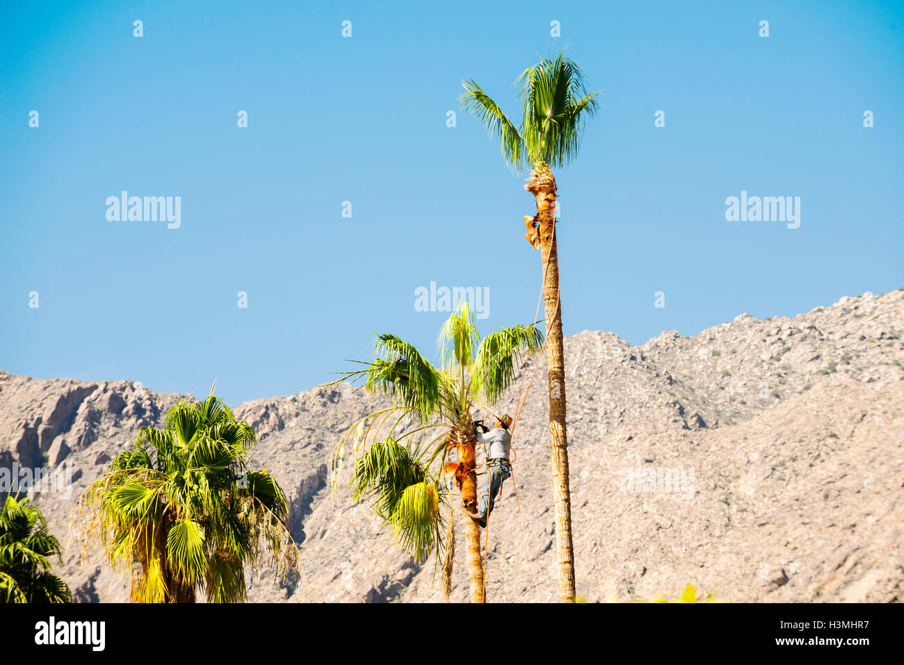 Man trimming palm tree in the California Desert - Stock Image