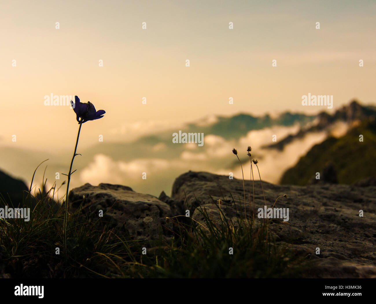 A flower at Monte Grappa in the italian Alps Stock Photo