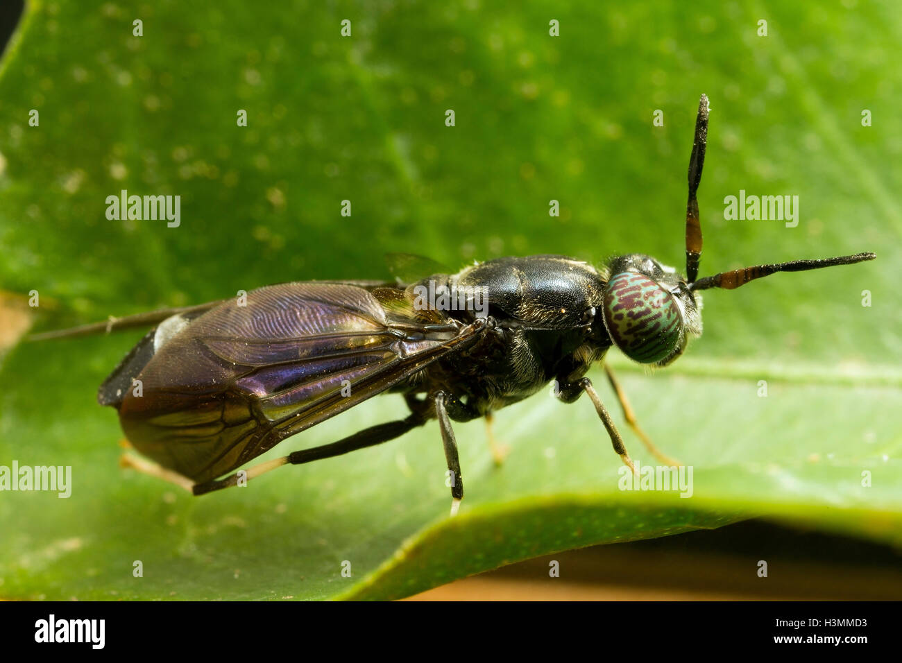 Black soldier fly - Stock Image