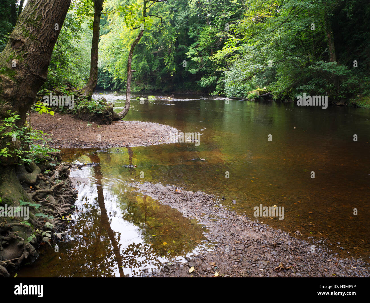 Early Autumn Trees by Still Water River Nidd at Knaresborough North Yorkshire England - Stock Image