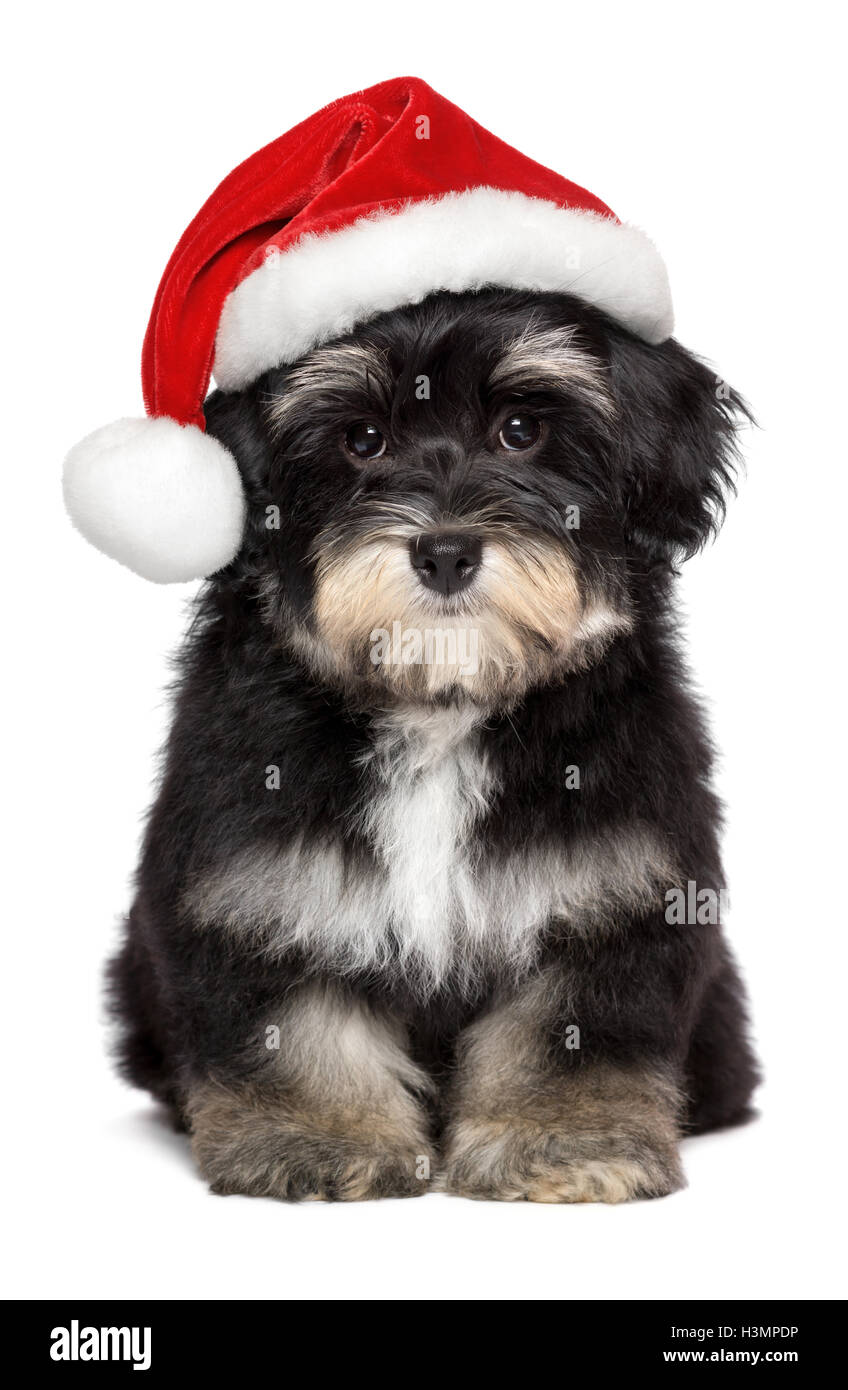 Cute Christmas Havanese puppy dog in a retouched Santa hat - Stock Image