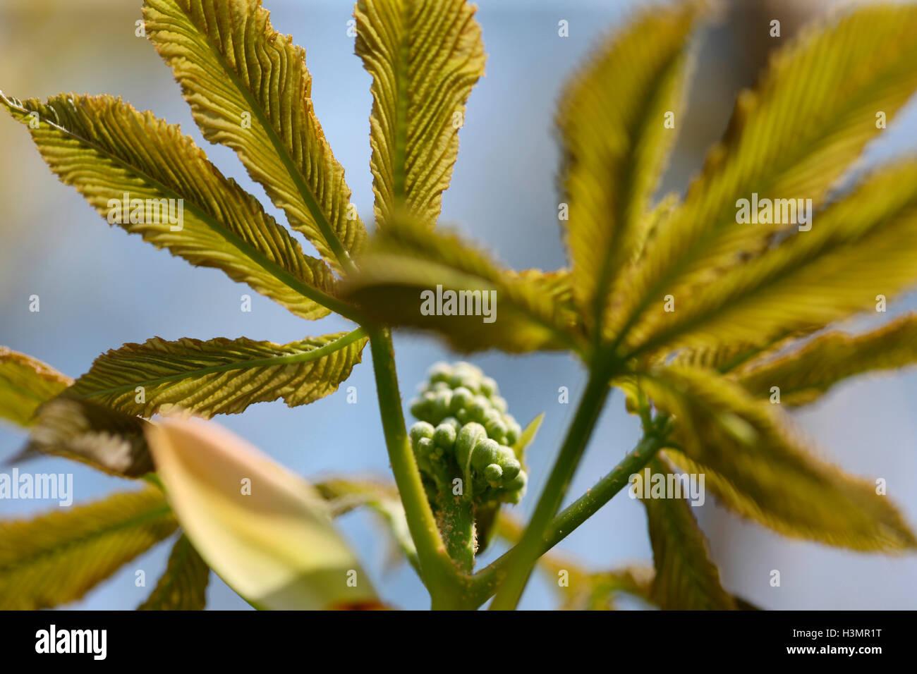 aesculus glabra 'ohio buckeye' species Hippocastanaceae, USA Jane Ann Butler Photography JABP1661 - Stock Image