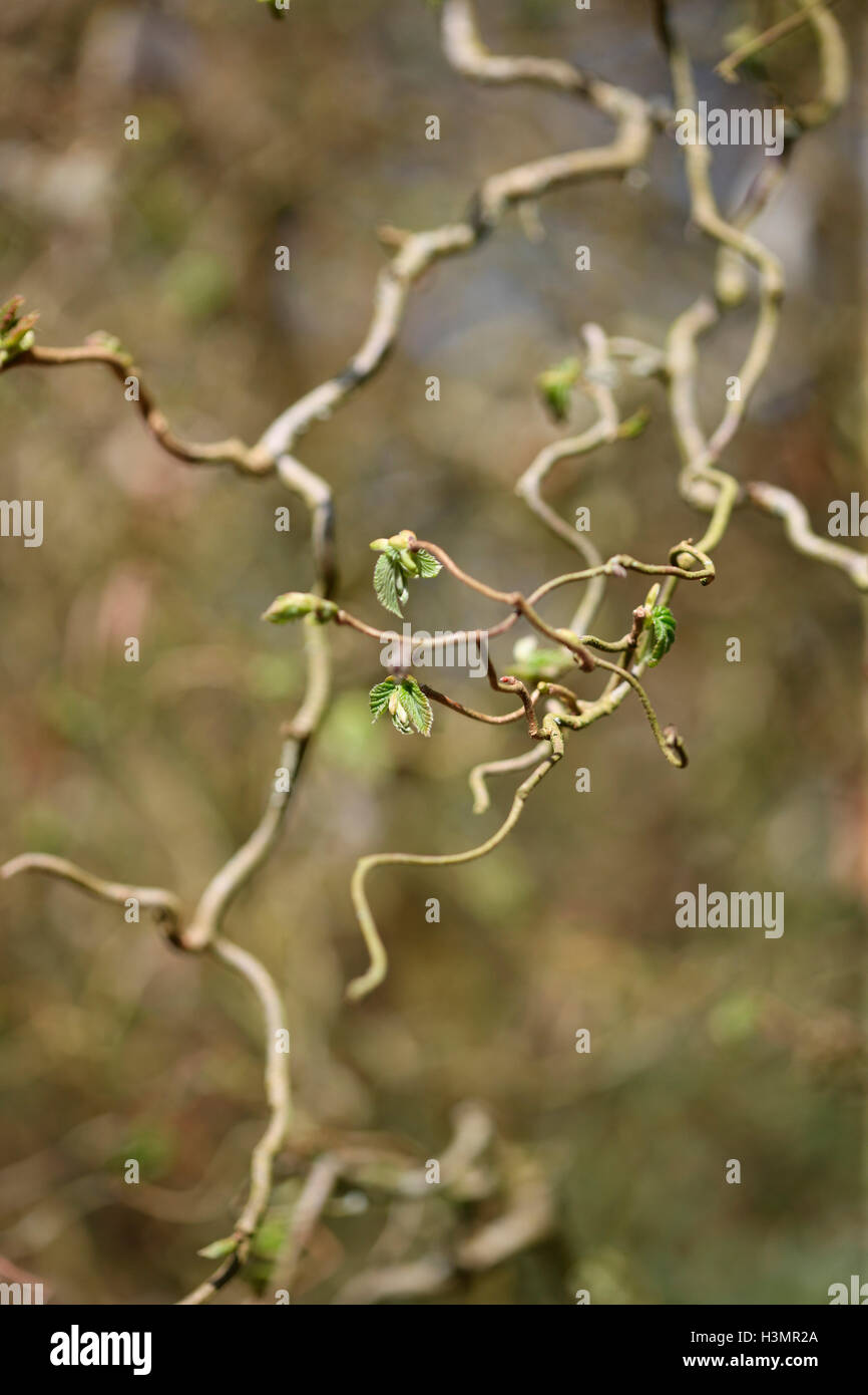 new spring shoots, unfurling leaves - gaia Jane Ann Butler Photography JABP1646 - Stock Image