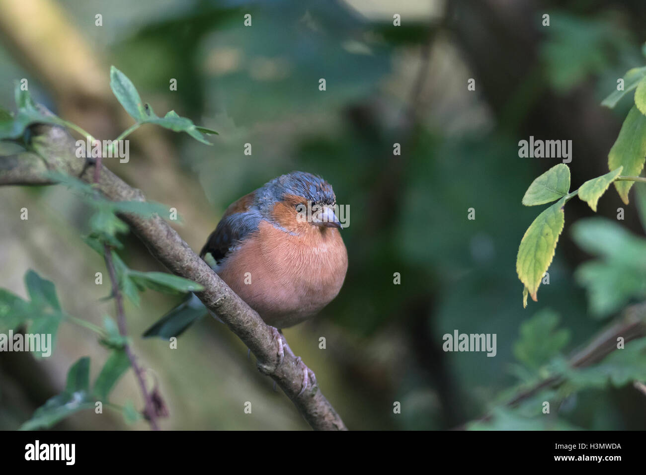 Chaffinch sitting on a branch - Stock Image